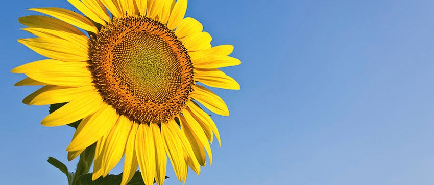 blooming-sunflower
